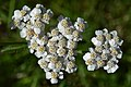 Common Yarrow (Achillea millefolium) - Oslo, Norway (02).jpg