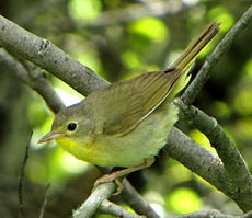 Common Yellowthroat, female.jpg