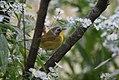 Common Yellowthroat (first year male) (37631761116).jpg