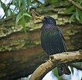 Common starling (49862200191).jpg