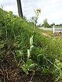 Conringia orientalis sl10.jpg