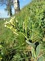 Conringia orientalis sl63.jpg
