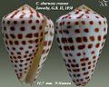Conus eburneus crassus 1.jpg
