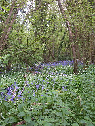 Ancient woodland - Ancient woodland at Brading, Isle of Wight, England showing bluebells (blue flowers, Hyacinthoides non-scripta), ramsons (white flowers, Allium ursinum) and hazel (trees, Corylus avellana)