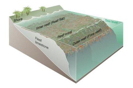 The three major zones of a coral reef: the fore reef, reef crest, and the back reef Coral reef diagram.jpg
