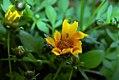 Coreopsis auriculata Zamfir 0zz.jpg