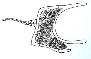 Homalozoa - Cothurnocystis, Paleozoic Era.