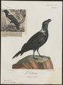 Corvus albicollis - 1796-1808 - Print - Iconographia Zoologica - Special Collections University of Amsterdam - UBA01 IZ15700269.tif