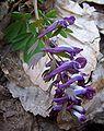 Corydalis solida a2.jpg
