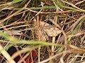 Cosmia trapezina (29579915208).jpg