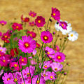 Cosmos flowers in Thailand 06.jpg