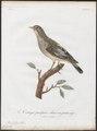 Cotinga pompadora - 1801 - Print - Iconographia Zoologica - Special Collections University of Amsterdam - UBA01 IZ16600103.tif