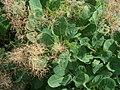 Cotinus coggygria HPIM6583 Peruukkipensas C.jpg