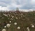 Cotton grass - geograph.org.uk - 848426.jpg