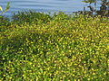 Cotula coronopifolia habit8 (8146229066).jpg