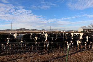 Trempealeau County, Wisconsin - The Cow Farm, Trempealeau County