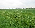 Cow parsley growing alongside a ditch - geograph.org.uk - 1276087.jpg