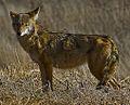 Coyote Bosque del Apache.jpg