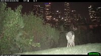 File:Coyote in Los Angeles.webm