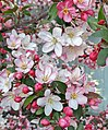 Crab apple flowers and buds.jpg