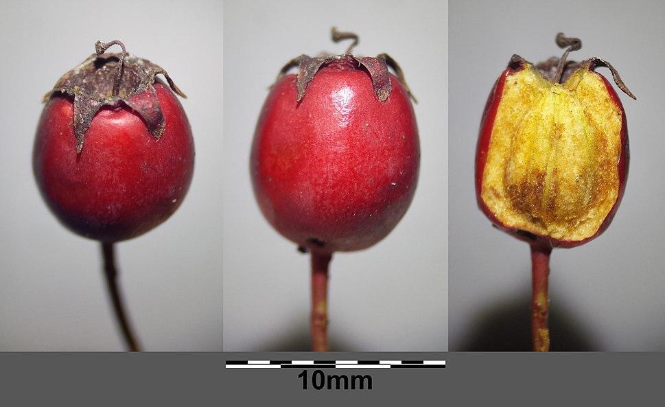 Crataegus monogyna (subsp. monogyna) sl30