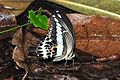 Cream-banded Swallowtail (male) (8410689511).jpg