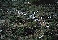 Creche of swift tern chicks. Robben Island Cape (37775107641).jpg
