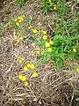 Crepis capillaris subsp agrestis.jpg