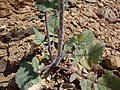 Crepis foetida plant (07).jpg