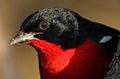 Crimson-breasted Shrike, Laniarius atrococcineus at Polokwane Nature Reserve, Polokwane, Limpopo, South Africa (14668960665).jpg