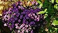 Crizanteme din abundenta - panoramio.jpg