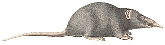 Eulipotyphla - Image: Crocidura indica 1700 1880 Print Iconographia Zoologica Special Collections University of Amsterdam (white background)