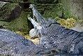 Crocodylus cataphractus 0zz.jpg
