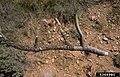 Cronartium ribicola Pinus flexilis needles (03).jpg