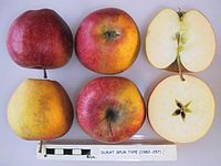 Cross section of Dukat spur type, National Fruit Collection (acc. 1982-257).jpg