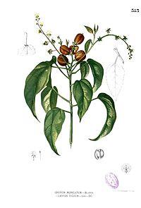 Croton tiglium Blanco2.383