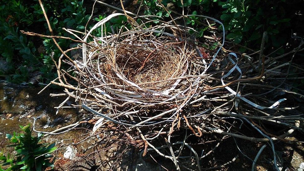 Crow corvus nest