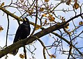 Crow on a branch.jpg