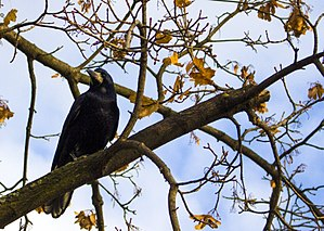 Corvus - Crow on a branch