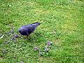 Crows 16 2012-07-04.jpg