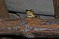 Cuban Tree Frog (Osteopilus septentrionalis) (8573973017).jpg