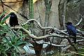 Cuervos zoológico de Chapultepec..jpg