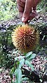 Cullenia exarillata 1.jpg