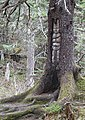 Culturally modified tree - Mount Roberts loop trail, Juneau 524 02.jpg
