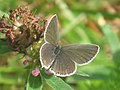Cupido argiades ♀ - Short-tailed blue (female) - Голубянка короткохвостая (самка) (26144130677).jpg