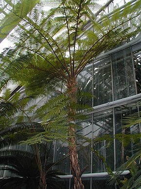Description de l'image Cyathea cooperi.jpg.