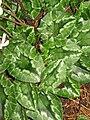 Cyclamen hederifolium Album leaf.jpg