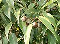 Cyclobalanopsis myrsinifolia4.jpg