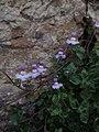 Cymbalaria muralis 118759002.jpg