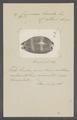 Cypraea lurida - - Print - Iconographia Zoologica - Special Collections University of Amsterdam - UBAINV0274 088 02 0043.tif